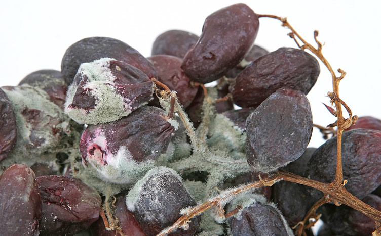 american food waste rotten grapes